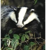 Badger (das)