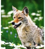 Coyote (prairiewolf)