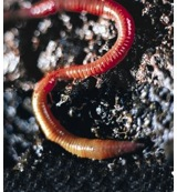 Earthworm (aardworm)